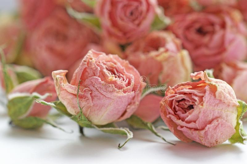 Dry buds of small pink roses flowers with green sepals royalty free stock images