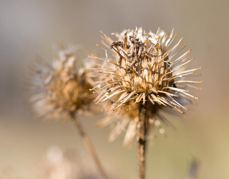 Dry burdock bush royalty free stock photography