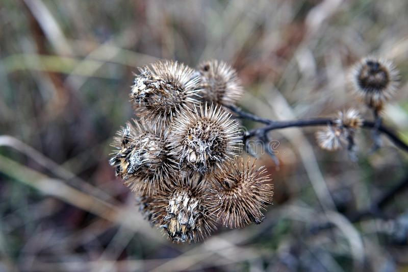 Dry burdock flowers in late autumn close up stock images