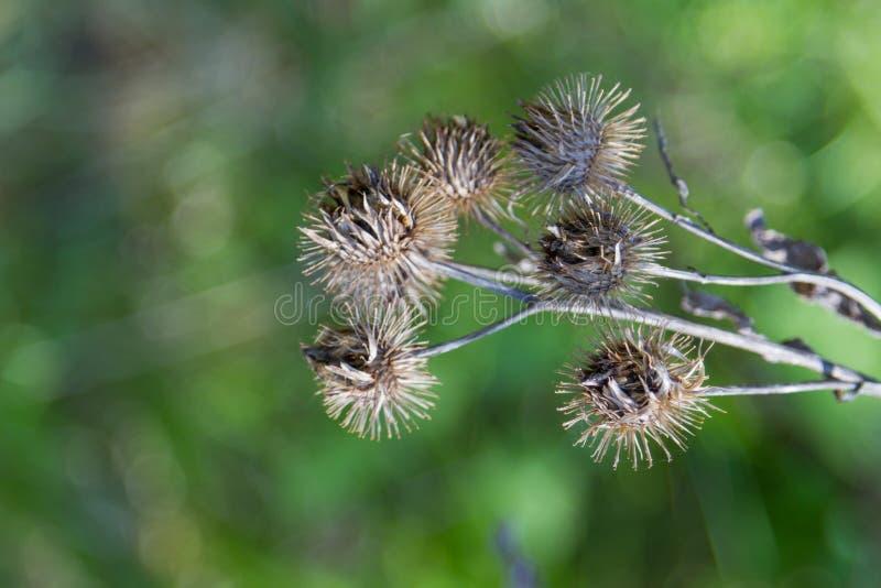 Dry burdock seeds stock photo