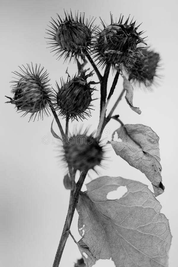 Dry burs and a burdock leaf stock image