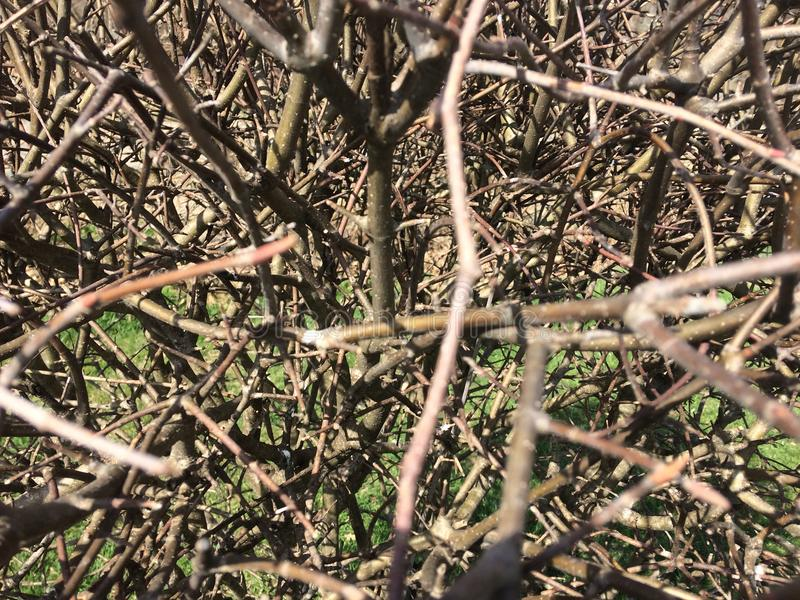 Dry bushes. thorn brown branches without leaves.  stock photo