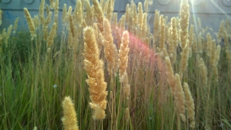 Dry cereal weed in the sun. Close-up of fluffy yellow spikelets in a sunny halo against a gray wall. stock image