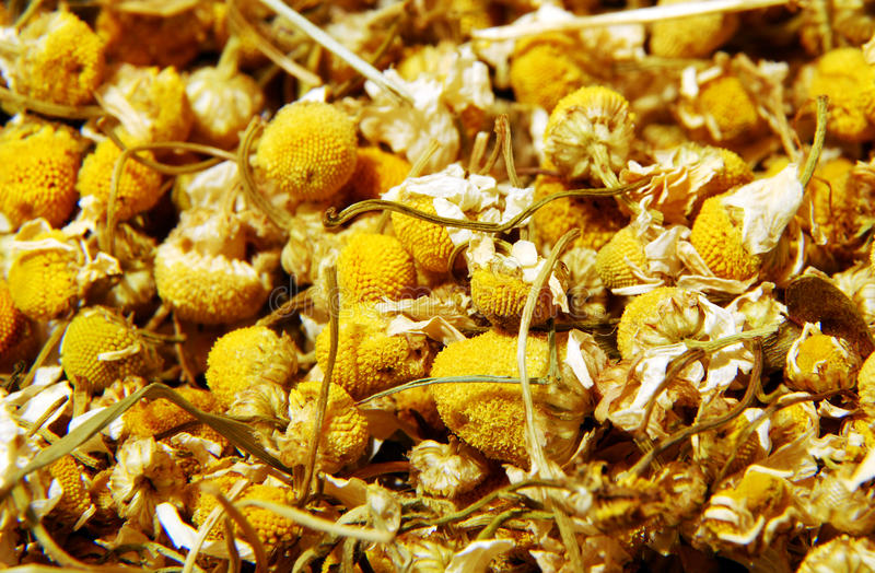 Dry chamomile stock photos