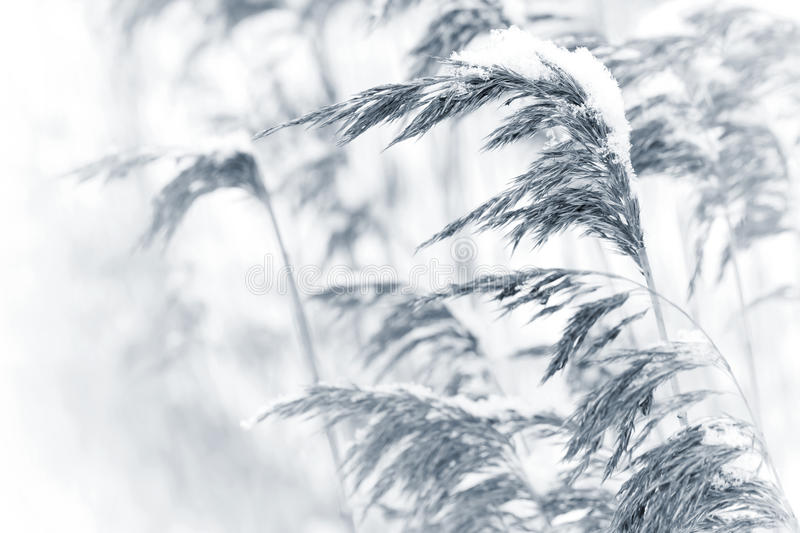 Dry coastal reed cowered with snow. Monochrome nature background stock image