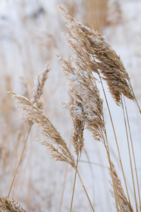 Dry coastal reed cowered with snow, vertical nature background royalty free stock image