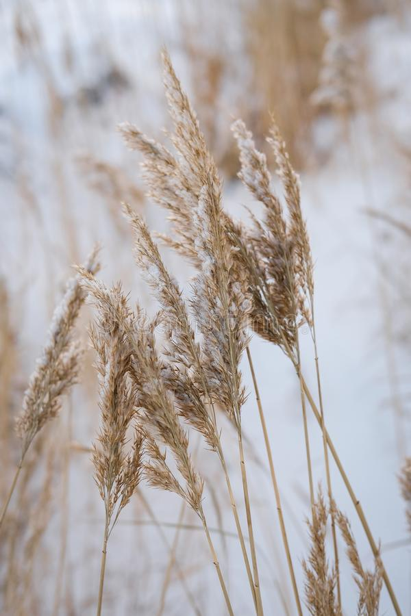 Dry coastal reed cowered with snow, vertical nature background royalty free stock photo