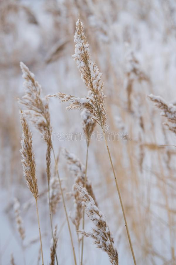 Dry coastal reed cowered with snow, vertical nature background stock photos