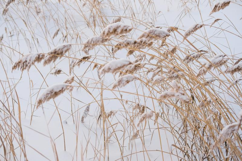 Dry coastal reed cowered with snow, vertical nature background stock images