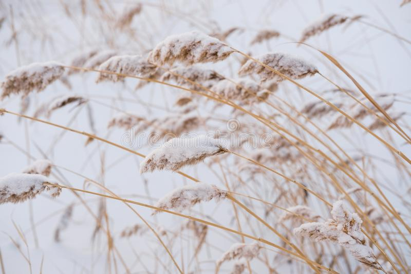 Dry coastal reed cowered with snow, vertical nature background stock photo
