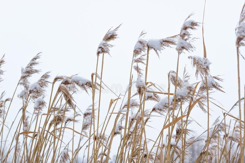 Dry coastal reed cowered with snow, vertical nature background. Winter in the meadow stock photography