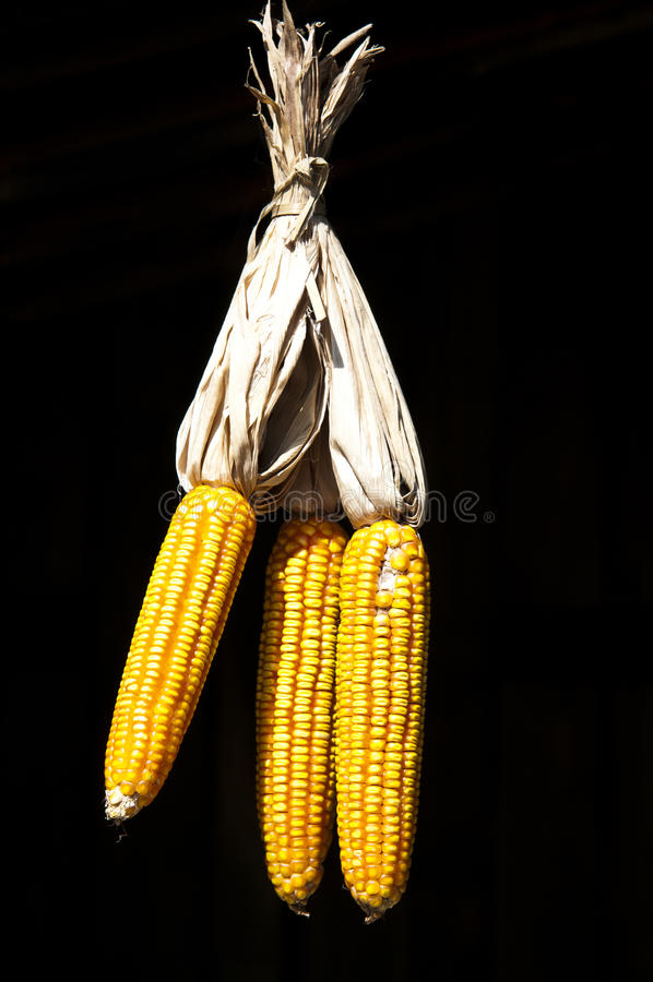 Free Dry Corn Stock Images - 18110064