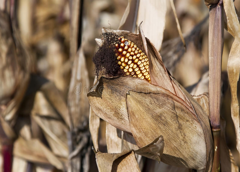 Download Dry corn stock photo. Image of countryside, nutrition - 27438098