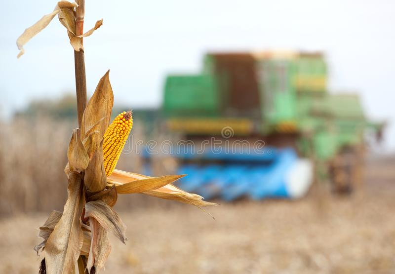 Dry corn cob closeup. A large combine harvester harvests corn on the field on a sunny day royalty free stock image