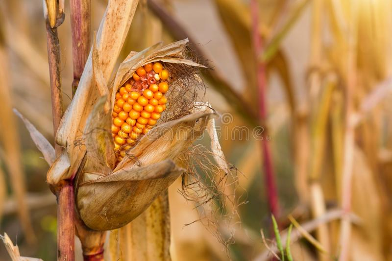 Dry corn cob in the sunset field stock photo