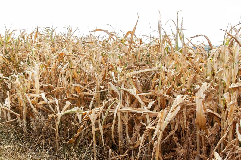 Dry corn field. Hot summer day. Lack of rain. Dry farm. Climate change. Poor harvest. Dry corn field. Hot summer day. Lack of rain. Dry farm. Climate change stock images