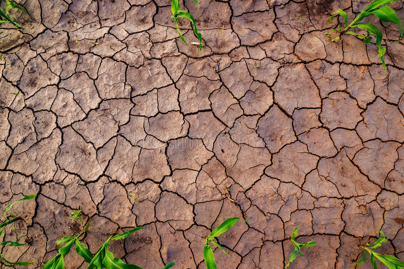 Dry corn field land with cracks, top view. Dry cultivated corn field land with cracks, top view of soil and maize crop plants with copy space royalty free stock photography