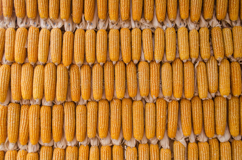 Dry corn wall stock images