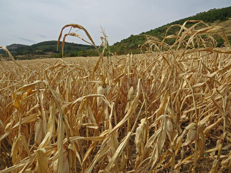 Dry cornfield in the autumn. Harvesting time. royalty free stock photography