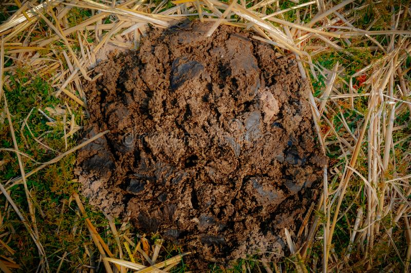 Dry cow dung. On the rice field royalty free stock image