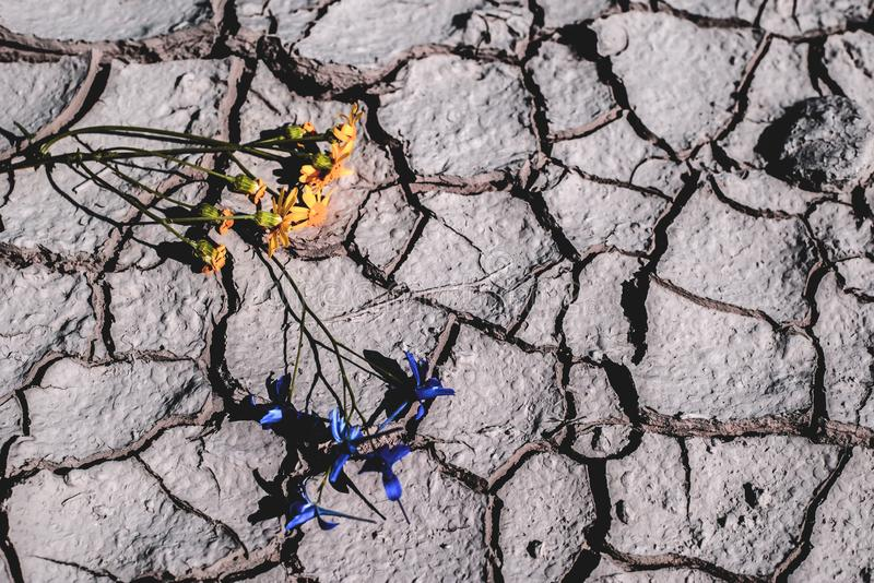 Purple and yellow flowers on dry cracked earth. Global warming concept. Dry, cracked earth, with a yellow flower in the background. Dehydration concept stock photo