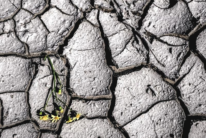 Purple and yellow flowers on dry cracked earth. Global warming concept. Dry, cracked earth, with a yellow flower in the background. Dehydration concept stock photography