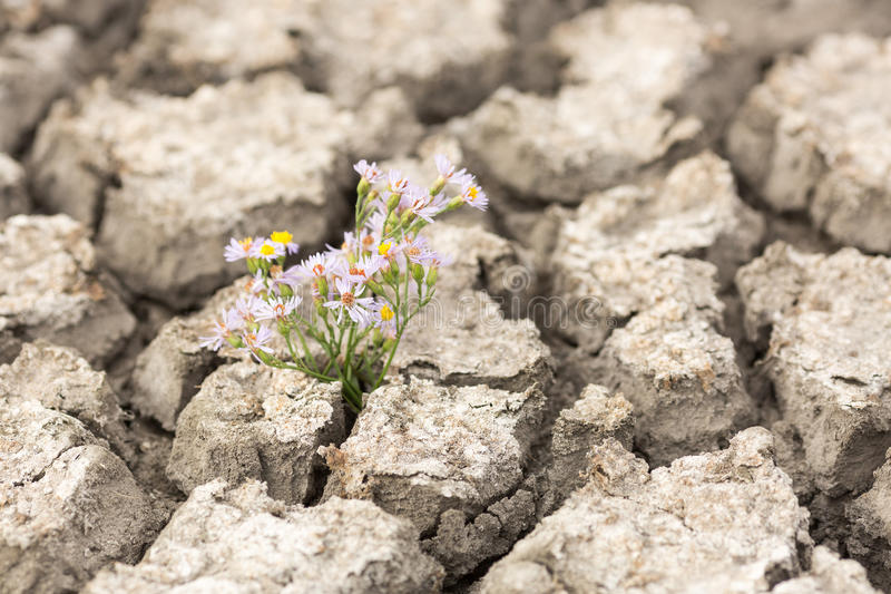 Dry and cracked soil. Flower in cracked earth. Drought. Global Warming.Plant in dried cracked mud royalty free stock photography