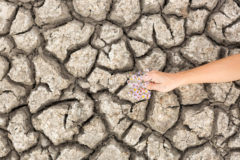 Dry and cracked soil. Flower in cracked earth. Drought. Global Warming.Plant in dried cracked mud stock photo