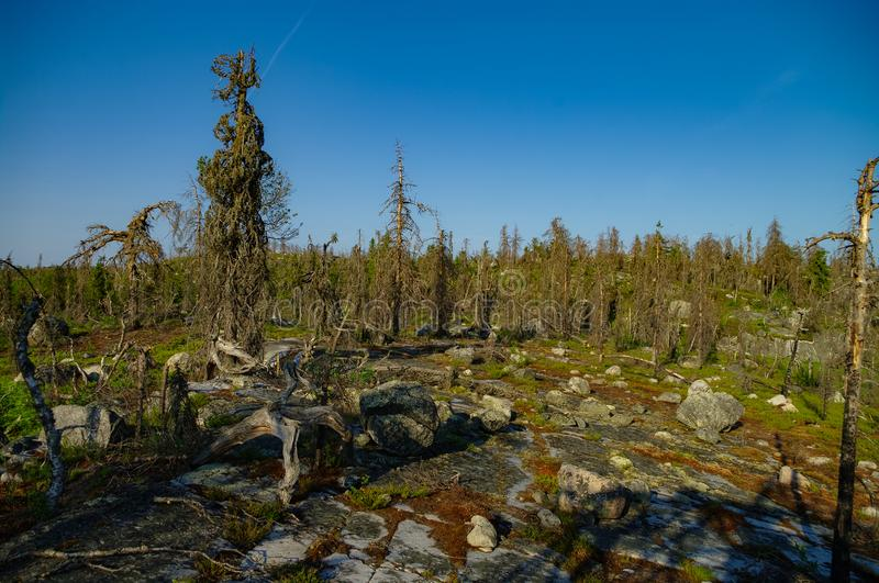 Dry crooked tree in the wasteland on the top of the mountain. Russia. Karelia. Vottovaara mountain after the wildfire.  stock image