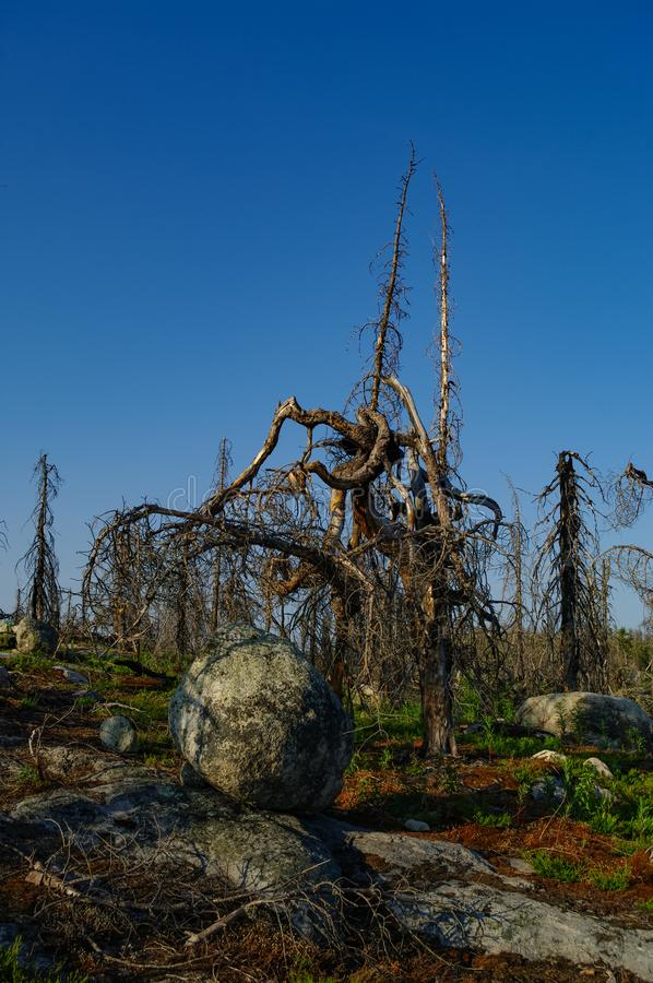 Dry crooked tree in the wasteland on the top of the mountain. Russia. Karelia. Vottovaara mountain after the wildfire.  stock photography