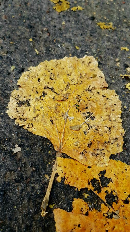 Dry crumbling leaves on rough asphalt road. Yellow damaged leaf closeup. Natural fall leaves background. Withering of nature in fall season royalty free stock images
