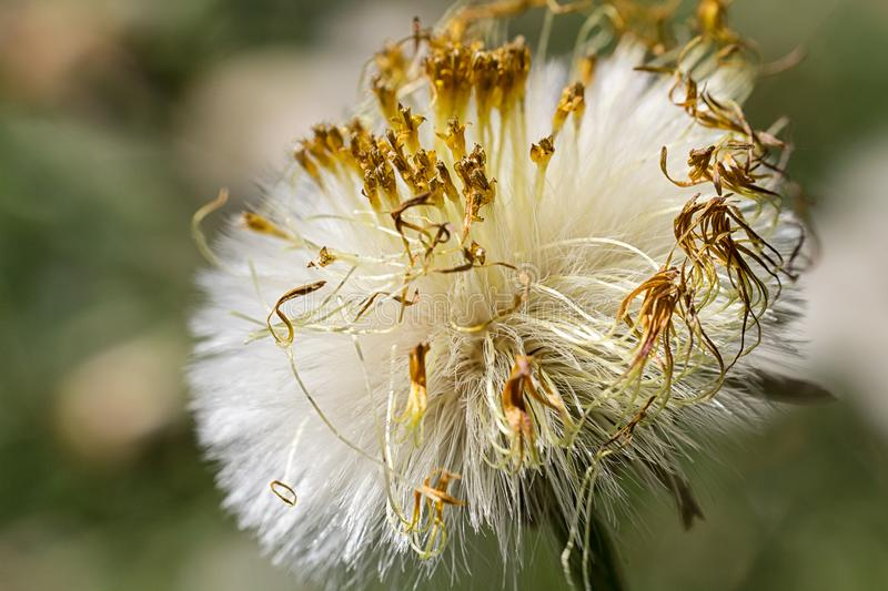 Dry dandelion with blured background, close up photo.  stock image
