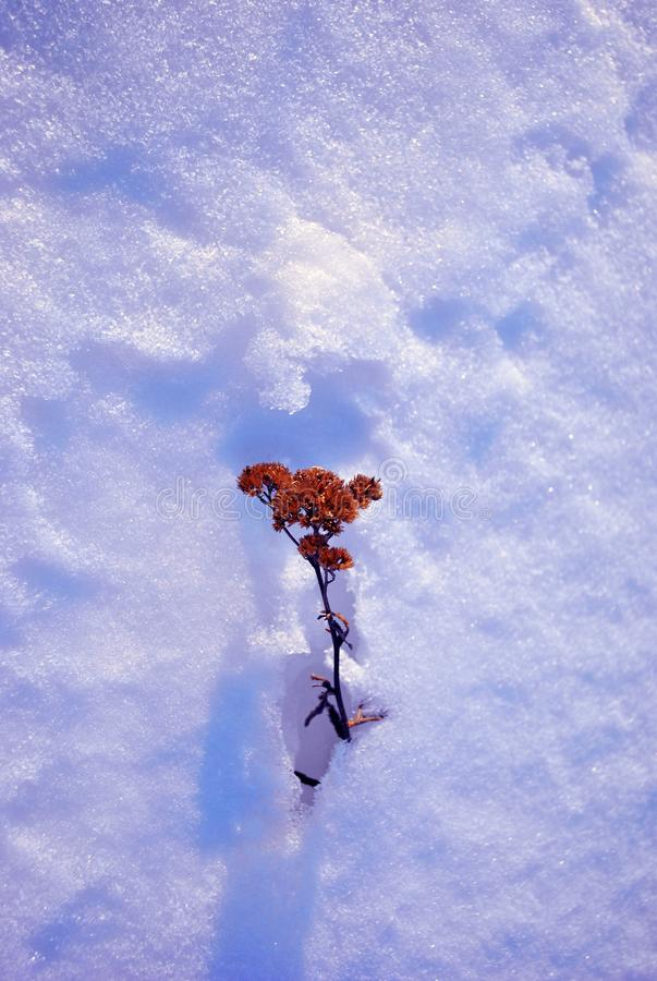 Dry dark flower covered with white snow, natural background. Top view stock photo