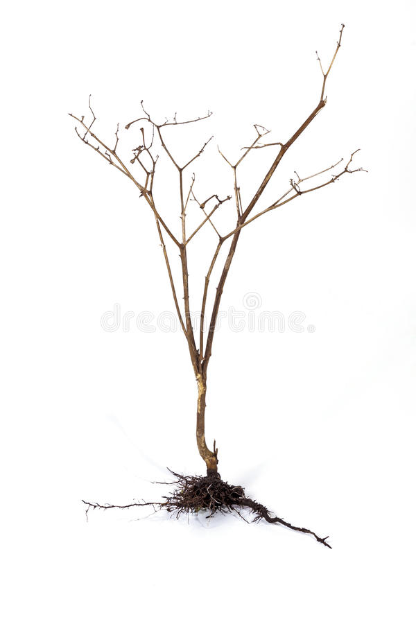 Dry Dead Plant and Underground Roots and Soil. Studio shot dry dead plant and underground roots and soil on white background royalty free stock photos