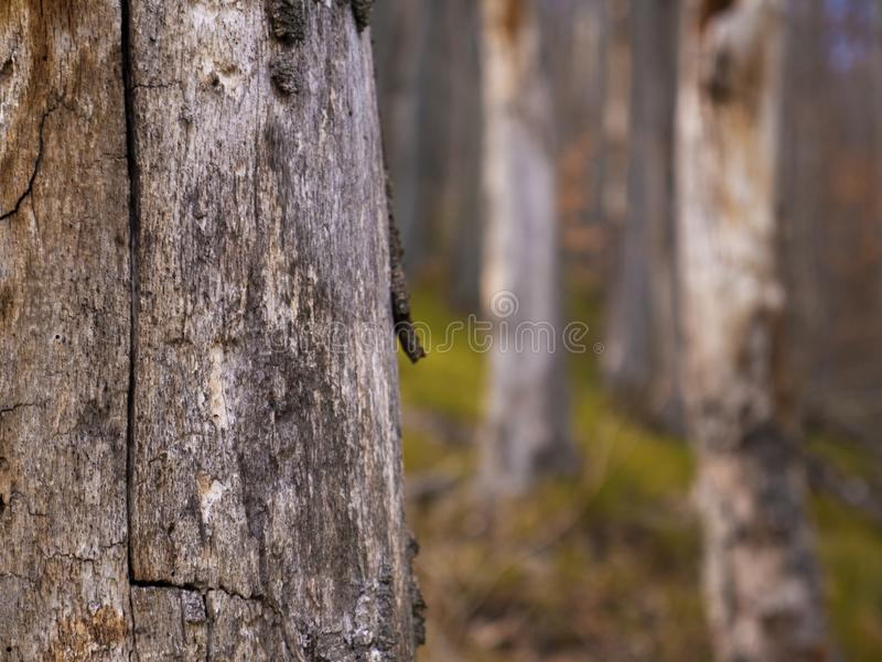 Dry dead tree. In the mountains on spring stock photos