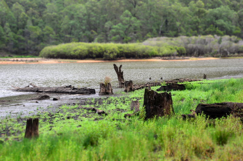 Dry and dead tree stumps at the flooding river. In autumn stock images