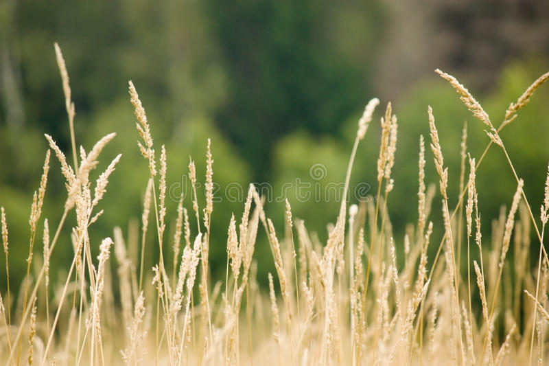 Download Dry ears of cereals stock photo. Image of scene, grass - 26616512