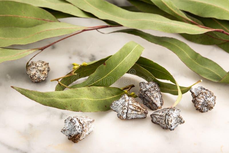 Dry eucalyptus leaves royalty free stock image