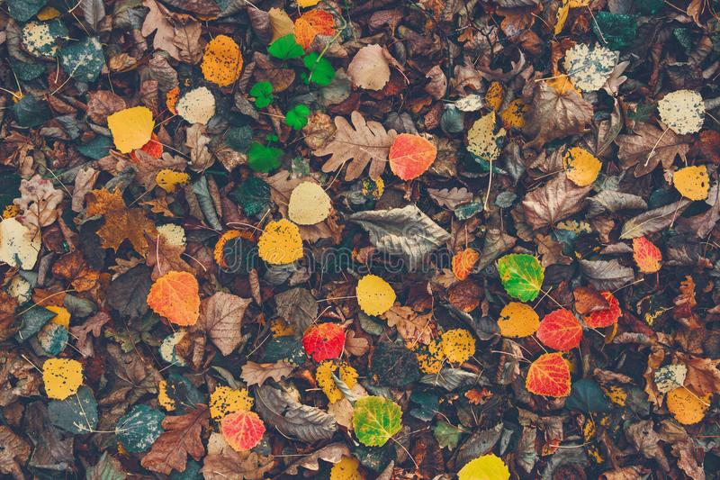 Dry fallen colorful leaves on the ground. Autumn time. Change of seasons. Back to school. After rain at the forest. royalty free stock photo