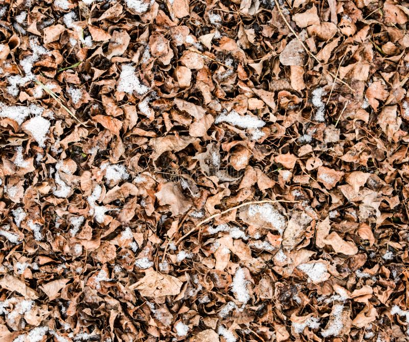 Dry fallen on the ground. Slightly covered with snow leaves. Background of leaves, texture. Dry fallen leaves on the ground. Slightly covered with snow leaves royalty free stock photography