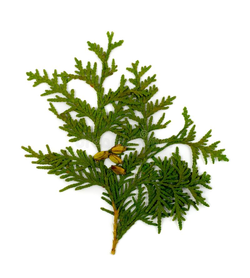 Dry Flat Thuja Sprig Isolated on White Background. Flat lay and top view. Studio photo of cupressaceae green twig dried in a book stock photography