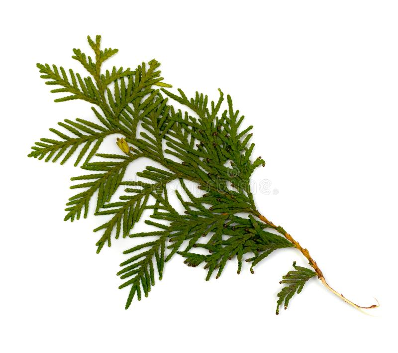 Dry Flat Thuja Sprig Isolated on White Background. Flat lay and top view. Studio photo of cupressaceae green twig dried in a book royalty free stock photo
