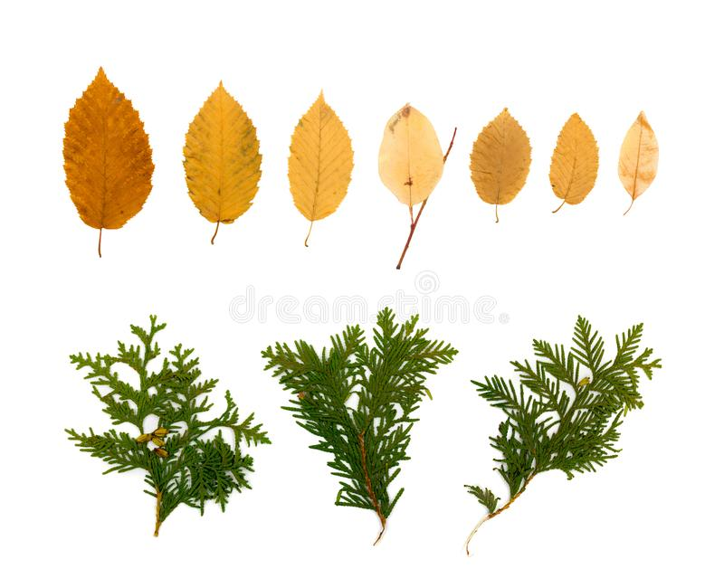 Dry Flat Thuja Sprig Isolated on White Background. Dry flat thuja sprig and yellow leaves isolated on white background flat lay and top view. Studio photo of royalty free stock photos