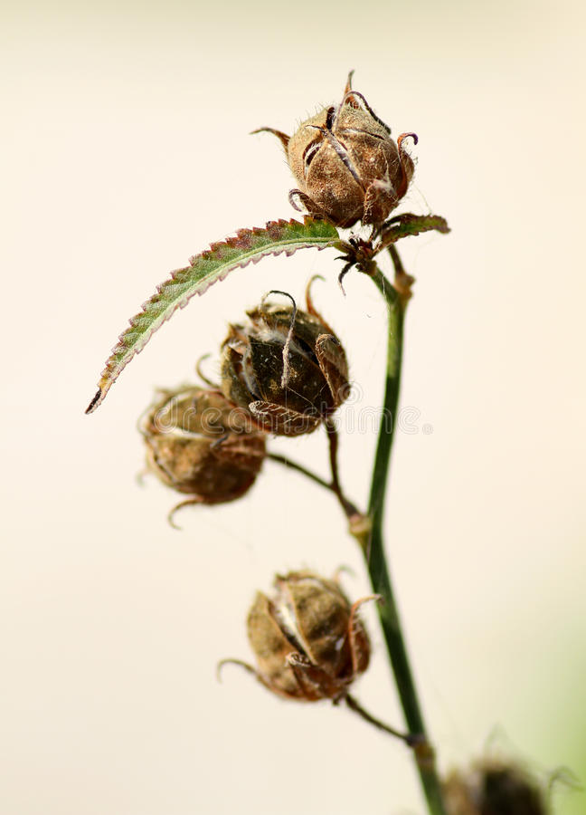 Dry flower buds. Beautiful shot of dry flower buds royalty free stock photography