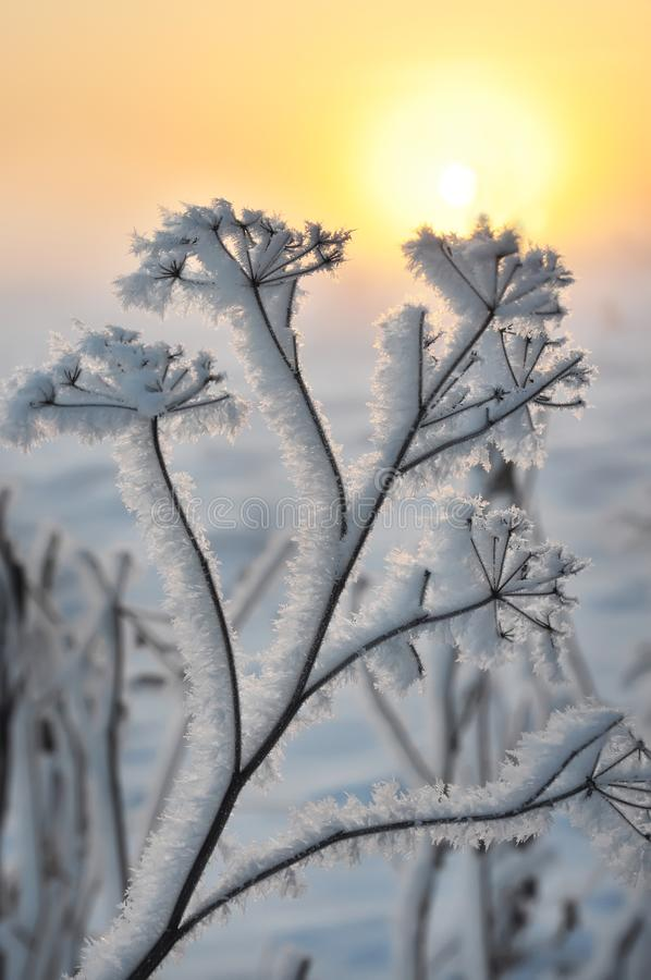 Dry flowers covered with drooping frost on the background of the sunrise. stock images