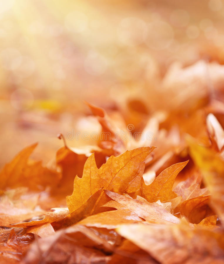Dry foliage on the ground. Abstract autumn background, old golden maple leaves, soft focus, fall season concept royalty free stock photo