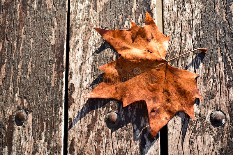 a dry fresh brown leaf on a old dark brown bench in a sunny day of fall. The leaf comes from a maple tree to fly on the wooden. stock photography