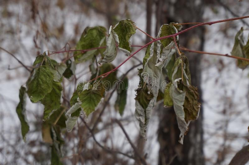 Dry frozen leaves in the winter forest. Coldn stock images
