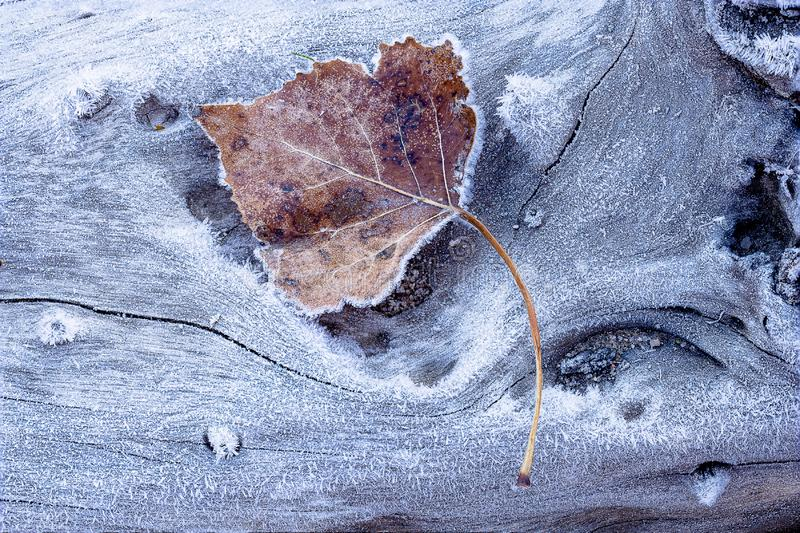 Dry frozen maple leaf on a frosty wooden surface - great for background or wallpaper royalty free stock photography