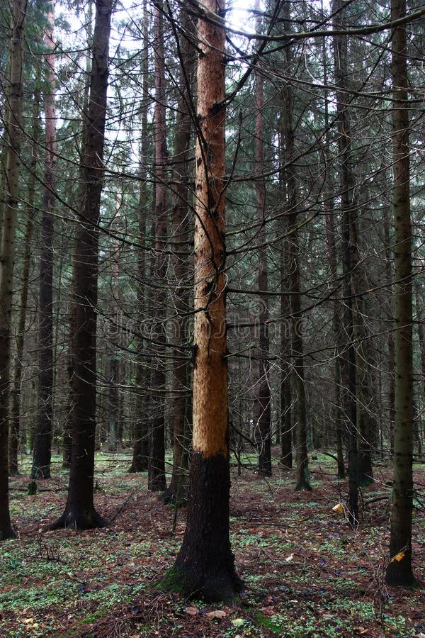 Dry fur-tree. Among an autumn fir forest there is a dead tree without a bark stock photography